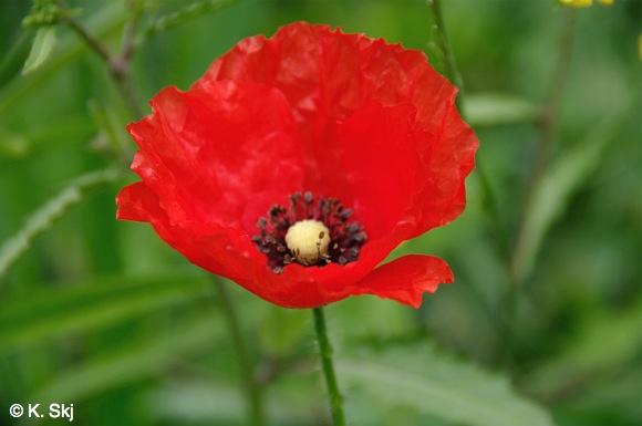 Poppies-guayadeque